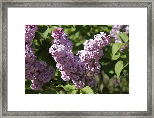 Framed Print featuring the digital art Lilacs by Antonio Romero