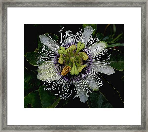 Lilikoi Passion Fruit Framed Print