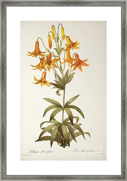 Lilium Penduliflorum Framed Print