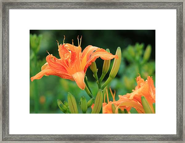 Lily Of The Evening Framed Print