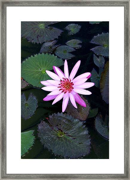 Lilly Pad Framed Print by Rebecca Cozart
