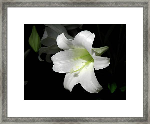 Lily In The Light Framed Print
