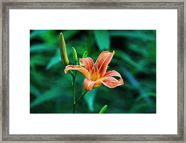 Framed Print featuring the photograph Lily In Woods by William Jobes