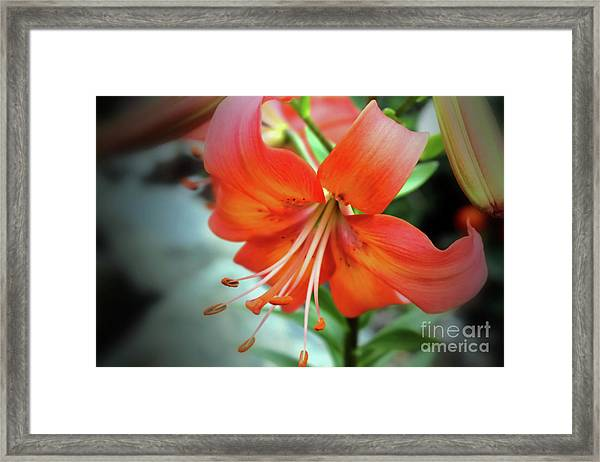 Lily Love Framed Print