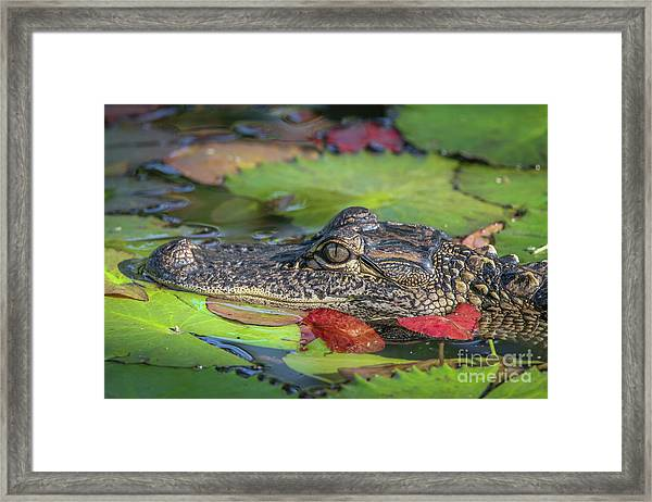 Framed Print featuring the photograph Lily Pad Gator by Tom Claud