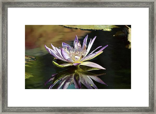 Lily Reflections Framed Print