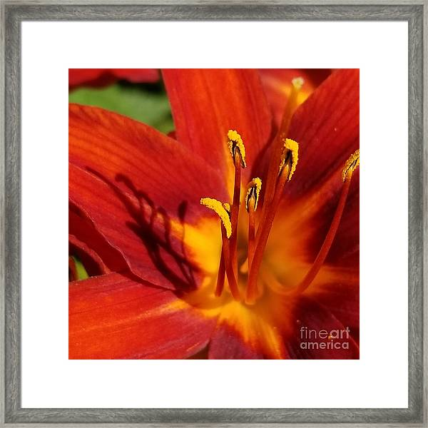 Lily Shadows Framed Print