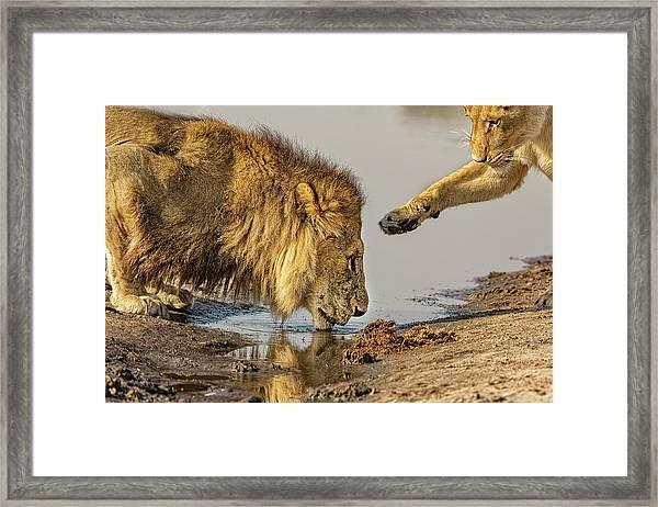 Lion Affection Framed Print