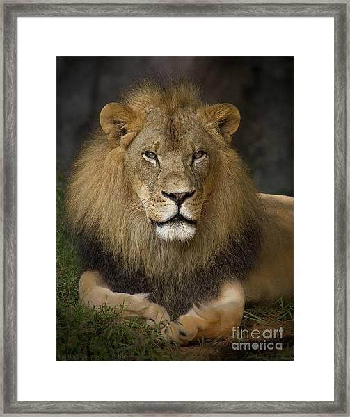 Lion In Repose Framed Print