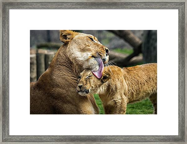 Lion Mother Licking Her Cub Framed Print