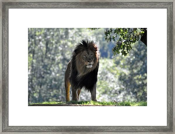 Lion Series 3 Framed Print by Teresa Blanton