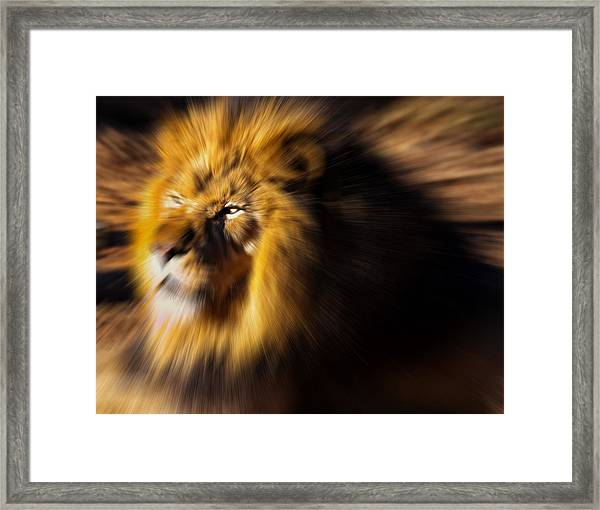 Lion The King Is Comming Framed Print