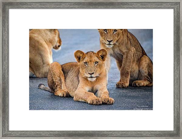 Lions Stare Framed Print