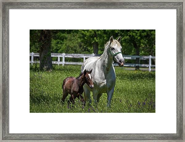 Lipizzan Horses Framed Print