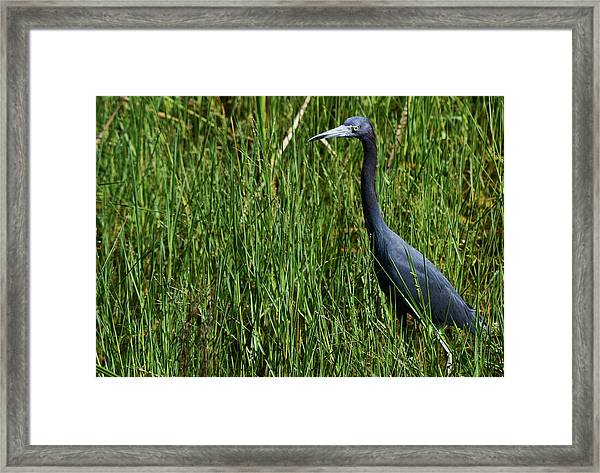 Little Blue Framed Print