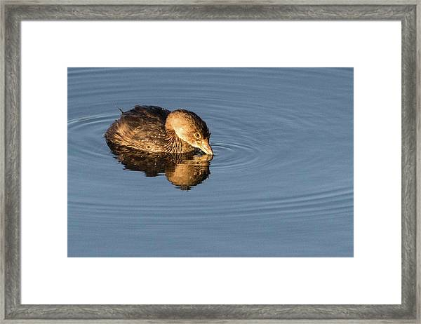 Little Brown Duck Framed Print