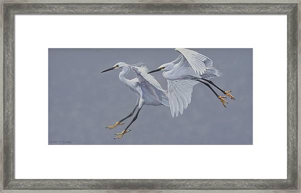 Little Egrets In Flight Framed Print