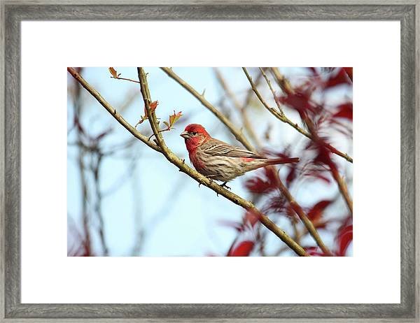 Little Finch Framed Print