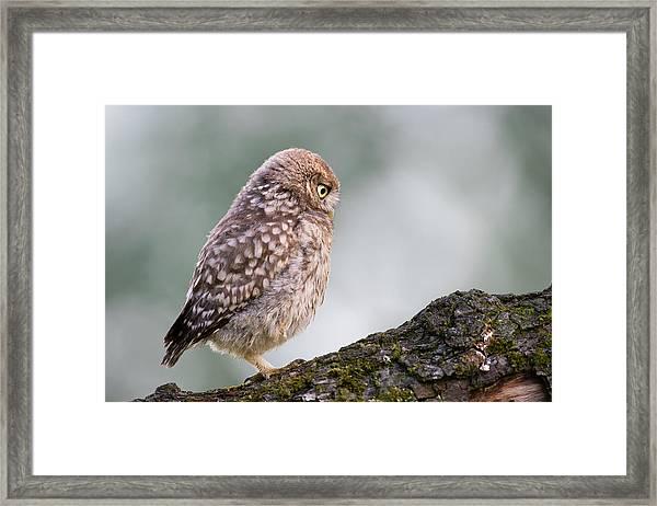 Little Owl Chick Practising Hunting Skills Framed Print