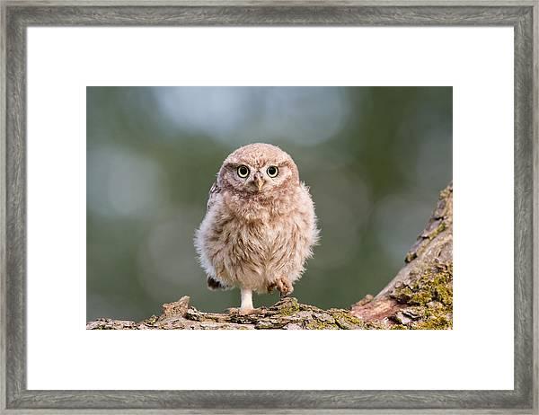 Little Owl Chick Framed Print