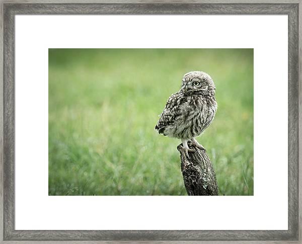 Little Owl Fledgeling Framed Print
