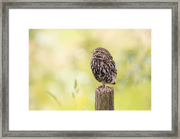 Little Owl Looking Up Framed Print