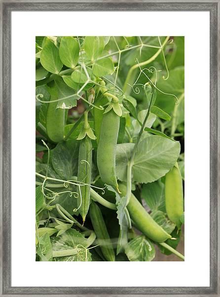 Little Peas Of Summer Framed Print