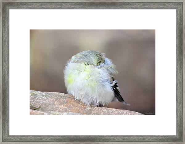 Little Sleeping Goldfinch Framed Print
