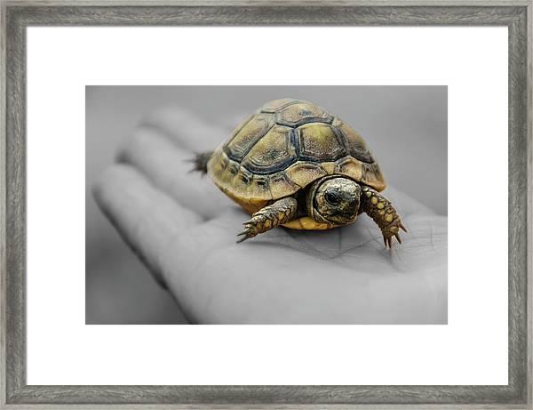 Little Turtle Baby Framed Print