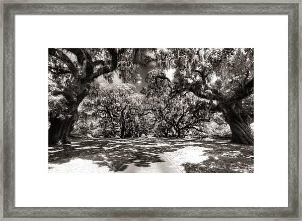 Live Oak Allee Infrared Framed Print
