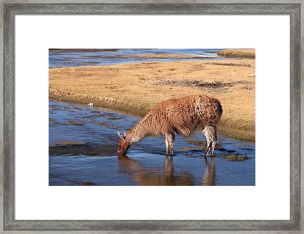 Llama Drinking In River Framed Print