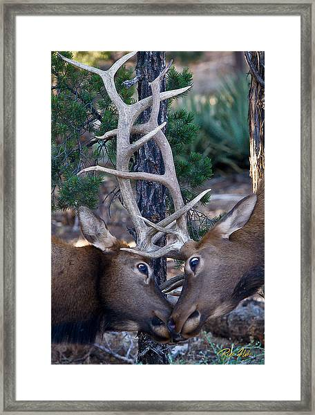 Locking Horns - Well Antlers Framed Print