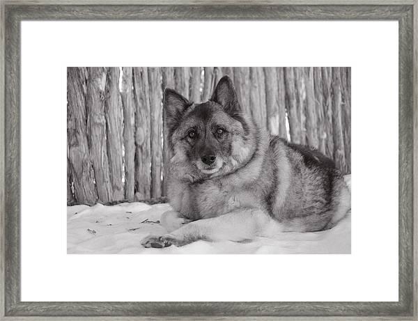 Loki By Fence Framed Print