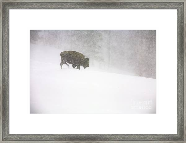 Lone Buffalo Bull In Winter Storm Framed Print