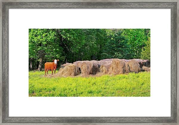 Lone Cow Guard, Smith Mountain Lake Framed Print