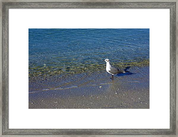 Lone Seagull At Miramar Beach In Naples Framed Print