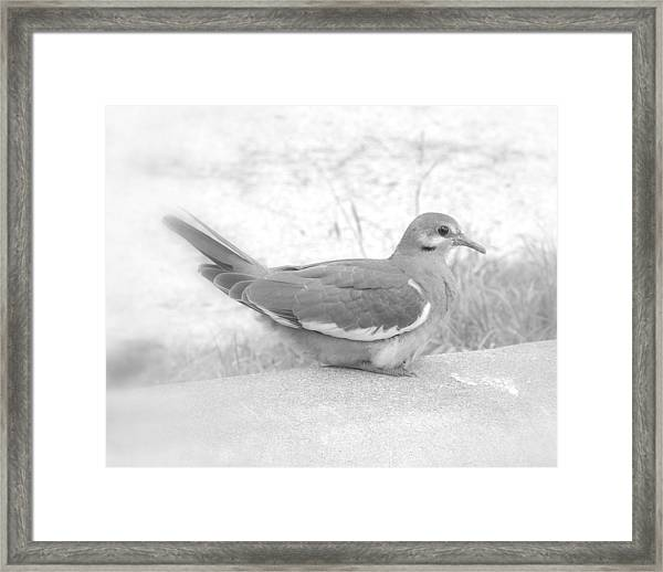 Lonely Dove Framed Print
