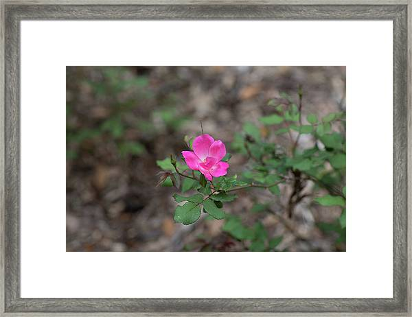 Lonely Pink Flower Framed Print