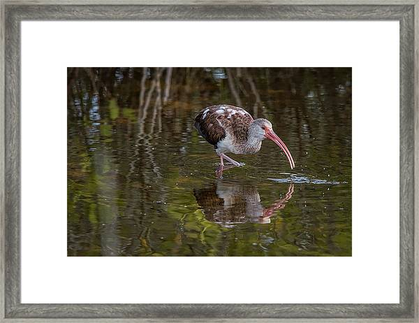 Long-billed Curlew - Male Framed Print