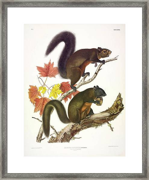 Long-haired Squirrel Framed Print