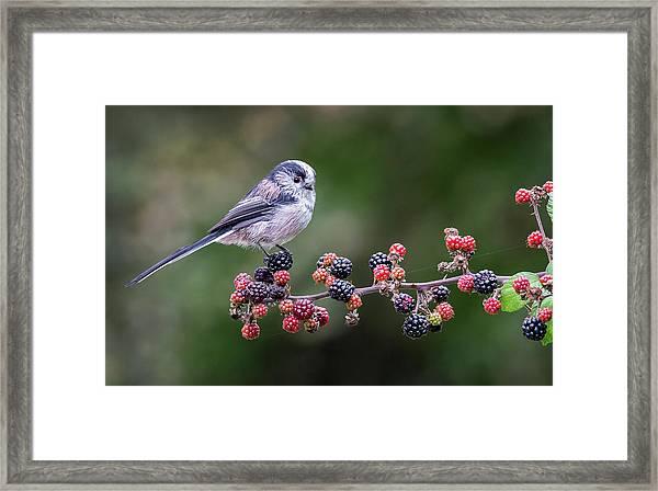 Long-tailed Tit Framed Print