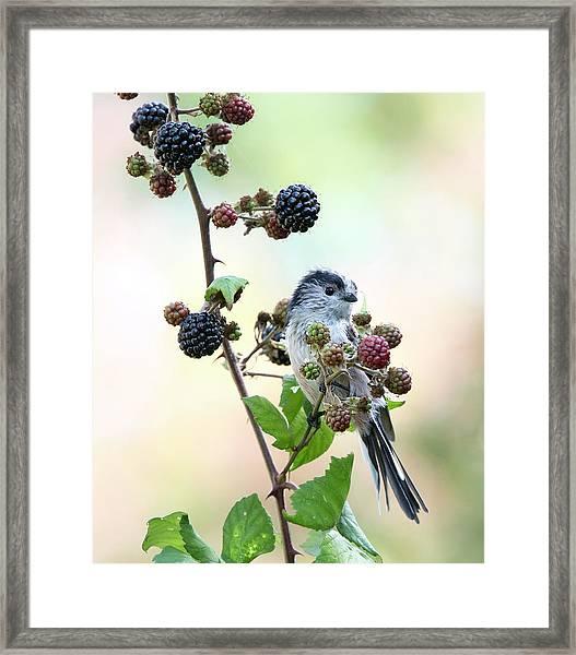 Long-tailed Tit In Blackberries Framed Print