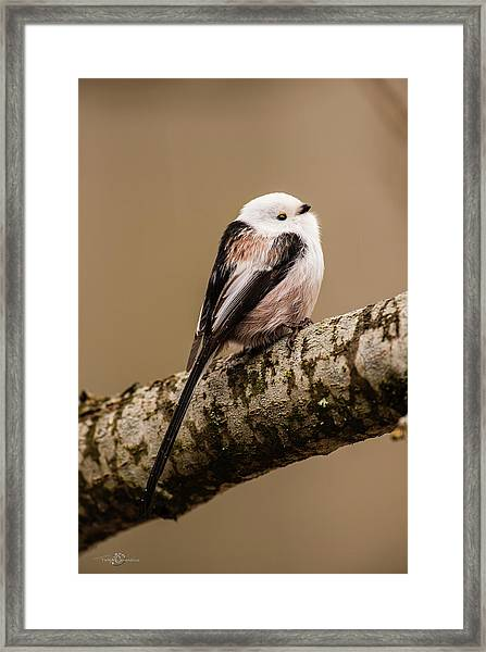 Long-tailed Tit On The Oak Branch Framed Print