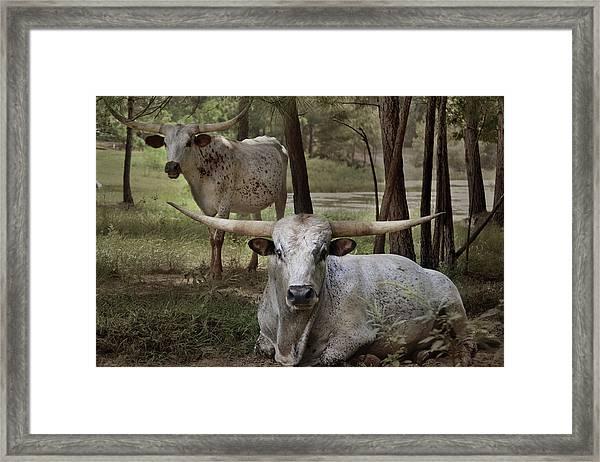 Longhorns On The Watch Framed Print