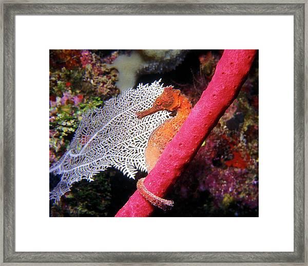 Longsnout Seahorse, Roatan, Honduras Framed Print