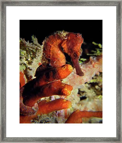 Longsnout Seahorse, St. Croix, U.s. Virgin Islands 2 Framed Print