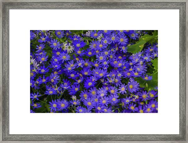 Longwood Hybrid Cineraria Framed Print