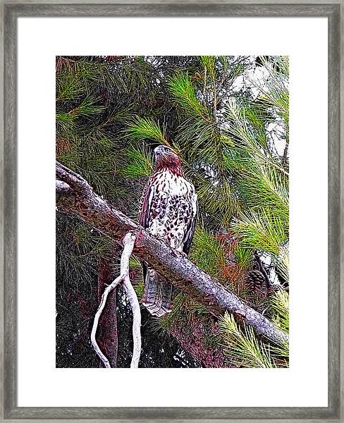 Looking For Prey - Red Tailed Hawk Framed Print