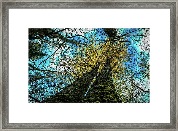 Looking Up Into The Cottonwood Trees Framed Print