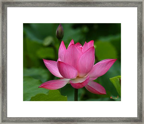 Lotus--shades Of Past And Future Dl029 Framed Print